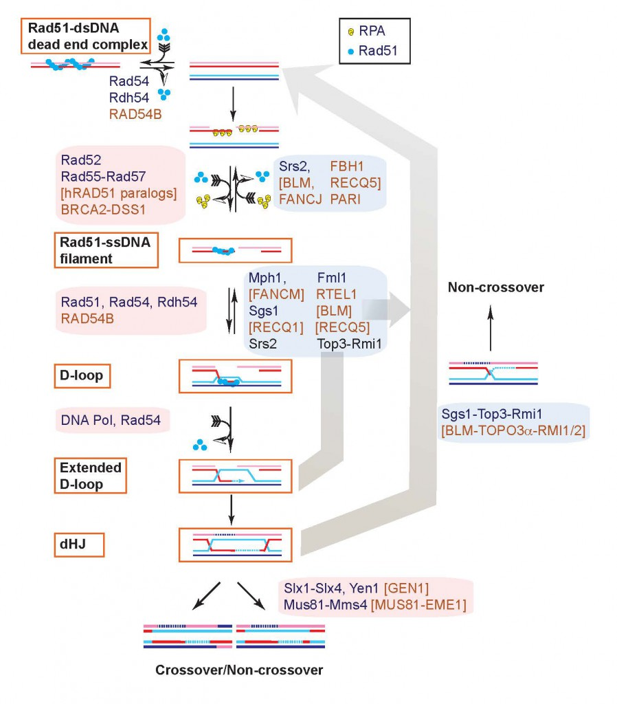 Figure 2: Homologous recombination is a multi-step pathway involving a core of conserved proteins (the Rad52 epistasis group)